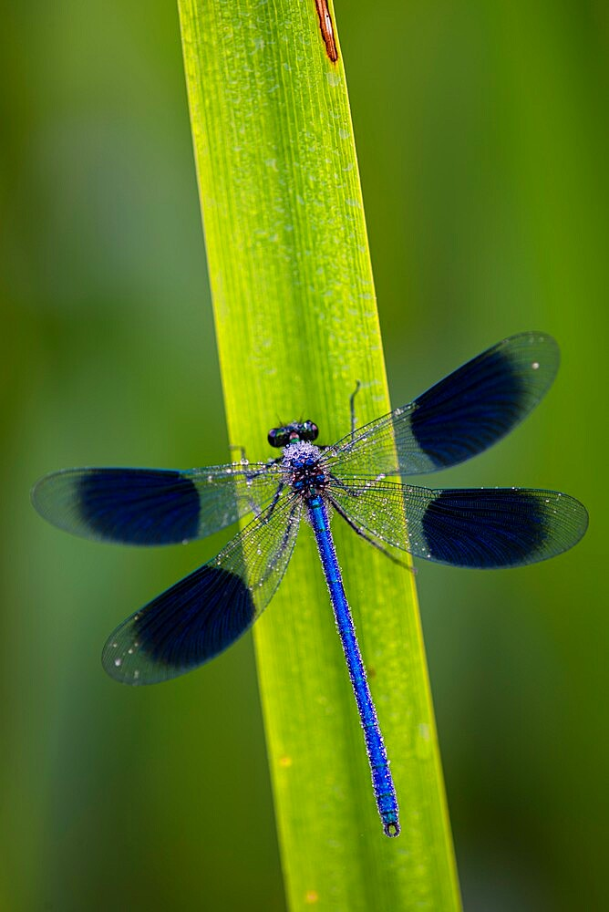 Banded Demoiselle (Calopteryx splendens) covered with dew, Kent, England, july - 1200-426