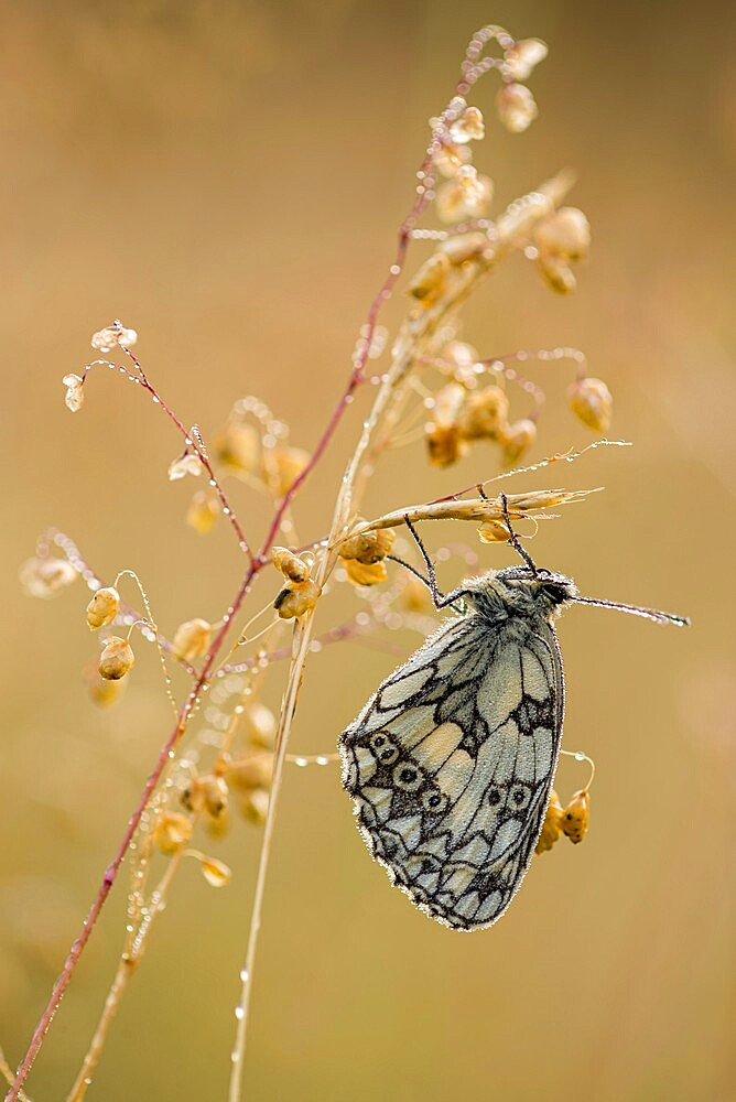 Marbled White (Melanargia galathea) butterfly, adult roosting on grass, in meadow habitat, Kent, England, June - 1200-427