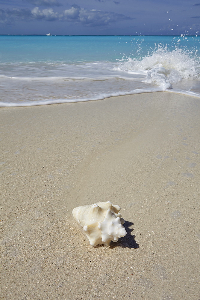 A conch shell on the shore in Grace Bay, Providenciales, Turks and Caicos in the Caribbean, West Indies, Central America - 1202-138
