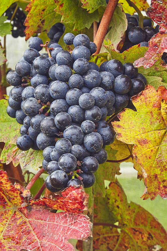 Dornfelder grapes ready for the autumn harvest, at Trevibban Mill Vineyard, near Padstow, Cornwall, England, United Kingdom, Europe