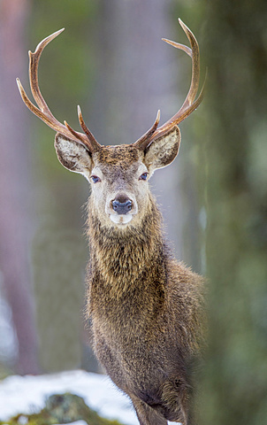 Red deer stag (Cervus elaphus), Scottish Highlands, Scotland, United Kingdom, Europe - 1204-6