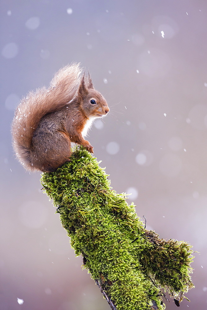 Red squirrel on a log with snow falling image