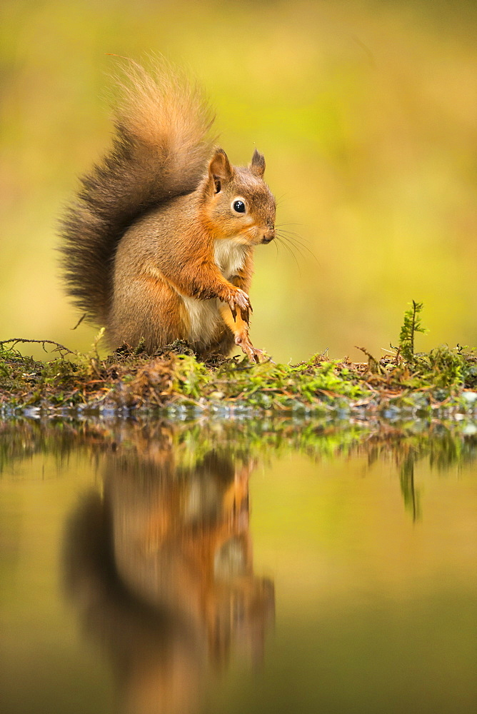 Red squirrel (Sciurus vulgaris) reflection, Yorkshire Dales, Yorkshire, England, United Kingdom, Europe