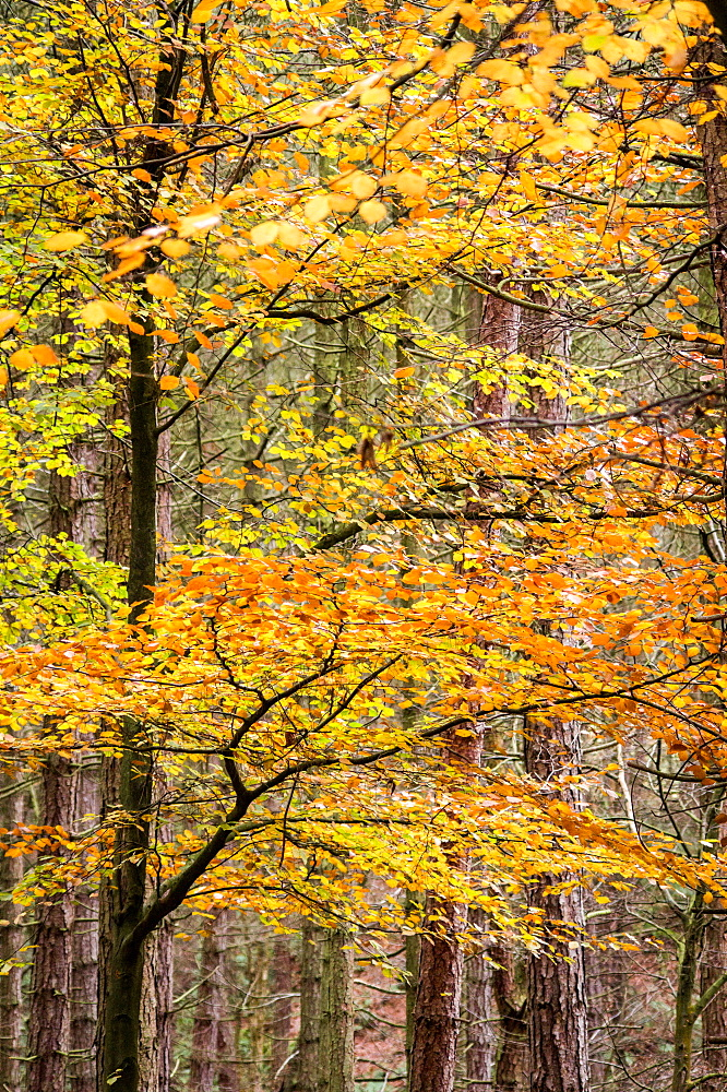 Trees in autumn, Gragg Vale, Calder Valley, Yorkshire, England, United Kingdom, Europe - 1209-30