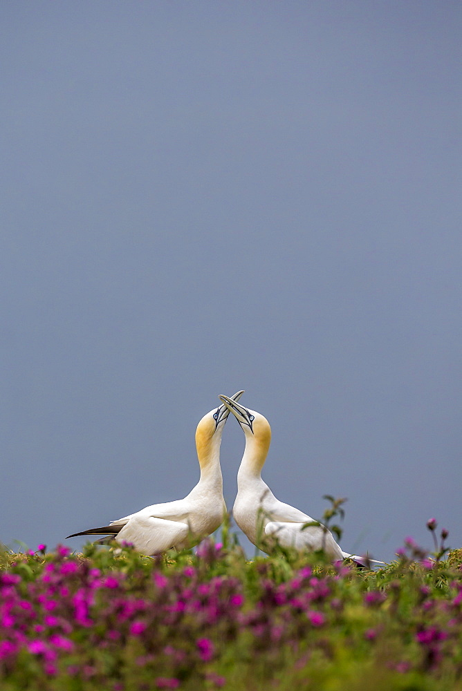 Gannets (Morus bassanus) sky-pointing at dawn on Bempton Cliffs, Yorkshire, England, United Kingdom, Europe