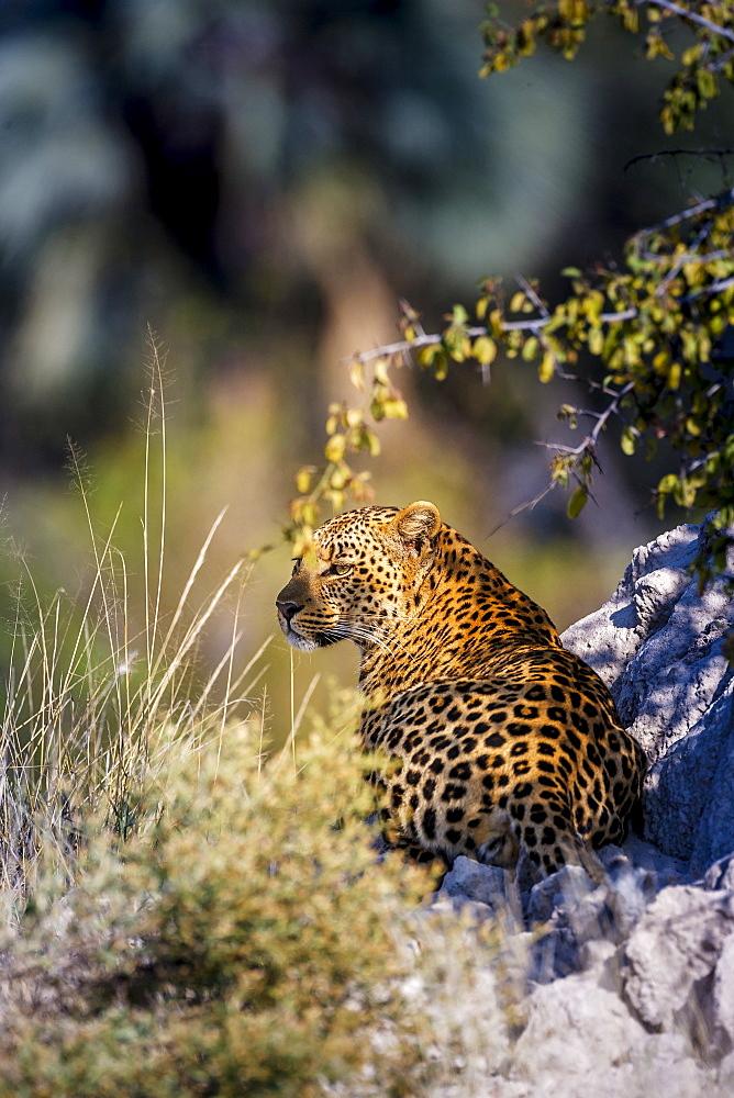 Leopard (Panthera pardus) resting on a termite mound, Moremi, Okavango Delta, Botswana, Africa