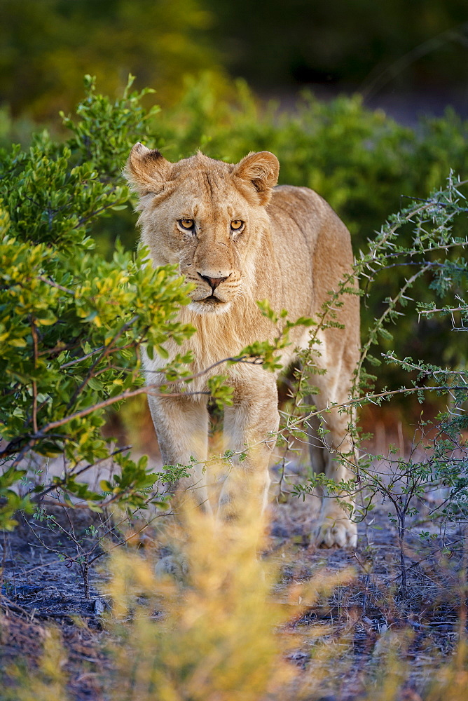 Male lion (Panthera leo) juvenile, Moremi, Okavango Delta, Botswana, Africa