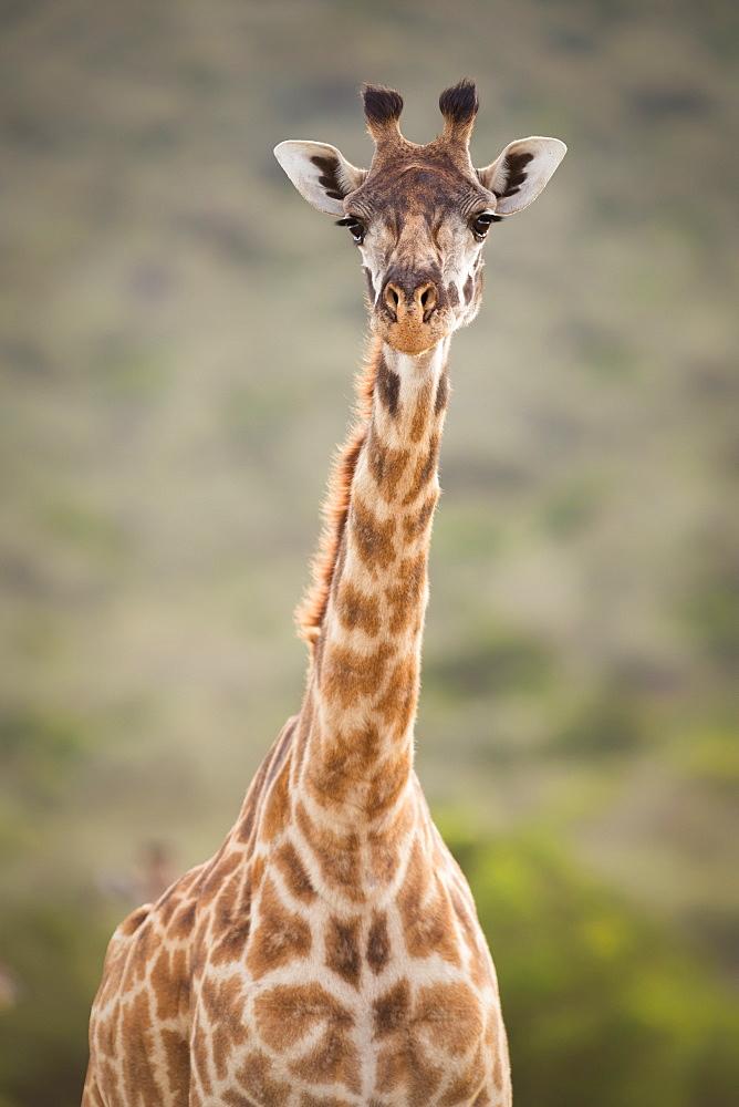 Giraffe, Masai Mara, Kenya, East Africa, Africa