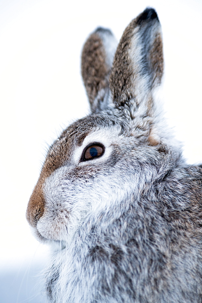 Mountain hare (Lepus timidus) in the Scottish Highlands, Scotland, United Kingdom, Europe - 1216-275