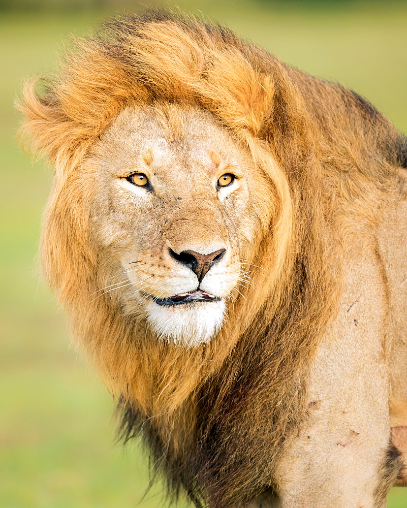 Male lion, Masai Mara, Kenya, Africa - 1216-279
