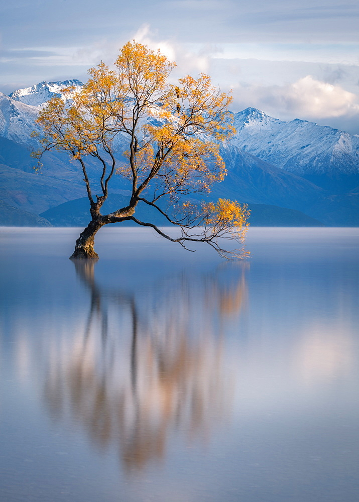 Wanaka Tree, Lake Wanaka with the snow capped peaks of Mount Aspiring National Park, Otago, South Island, New Zealand, Pacific - 1216-303
