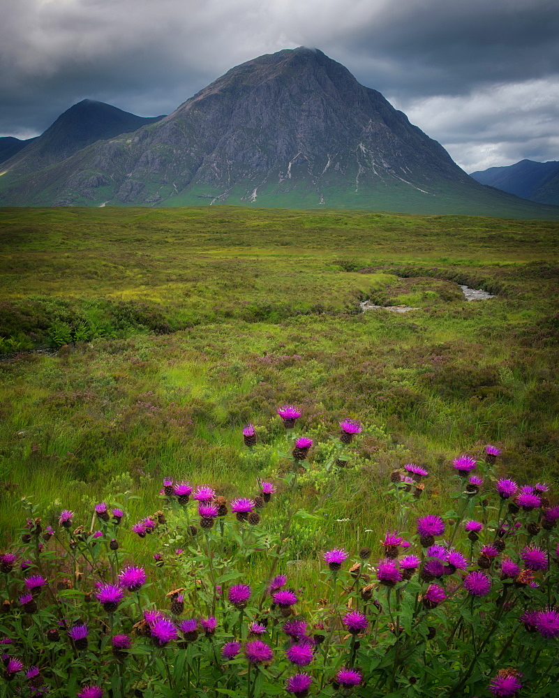 Buchaille Etive Mor, Glencoe surrounded by Scottish thistles, Scotland, United Kingdom, Europe - 1216-338
