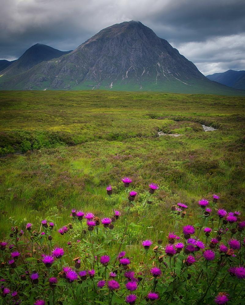 Buchaille Etive Mor, Glencoe surrounded by Scottish thistles, Scotland, United Kingdom, Europe