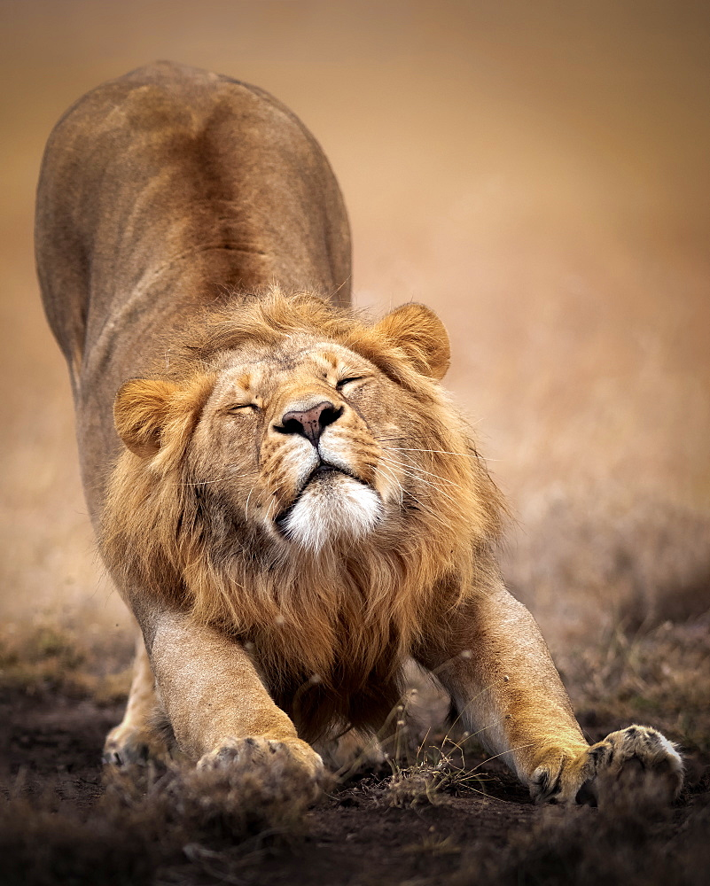 Sleepy male lion stretching in the Masai Mara, Kenya, Africa