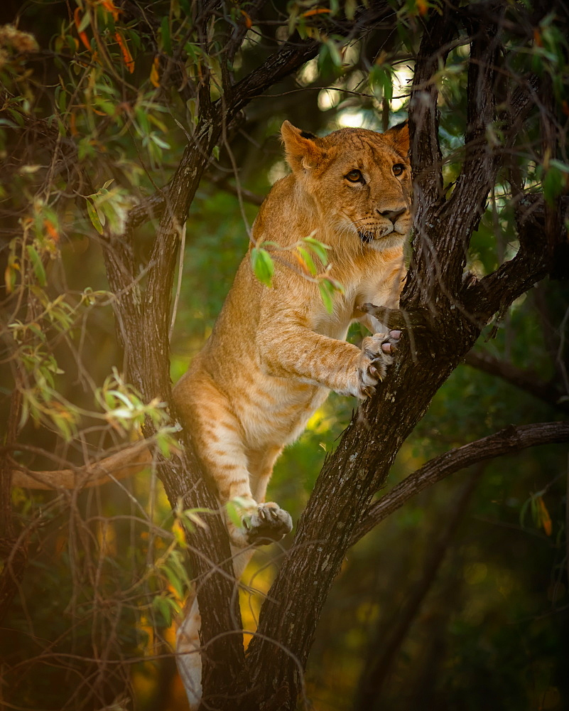 Lion cub in a tree, Masai Mara, Kenya, East Africa, Africa