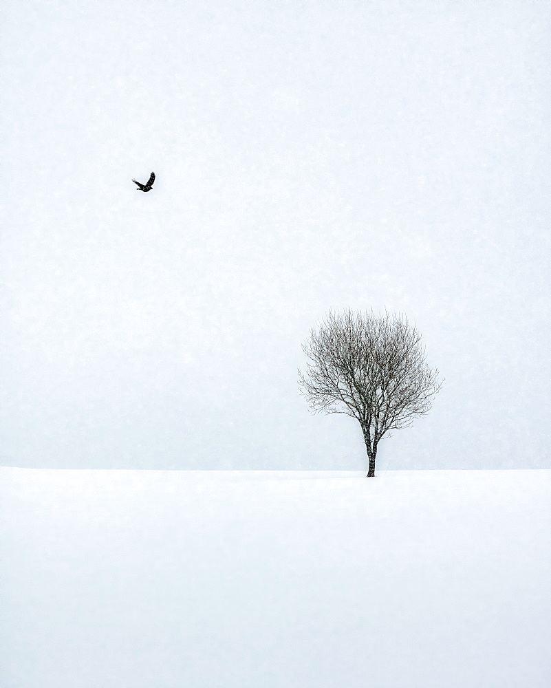 Bird flying towards a tree on a snowy winter's day in Lofoten Islands, Nordland, Norway, Europe