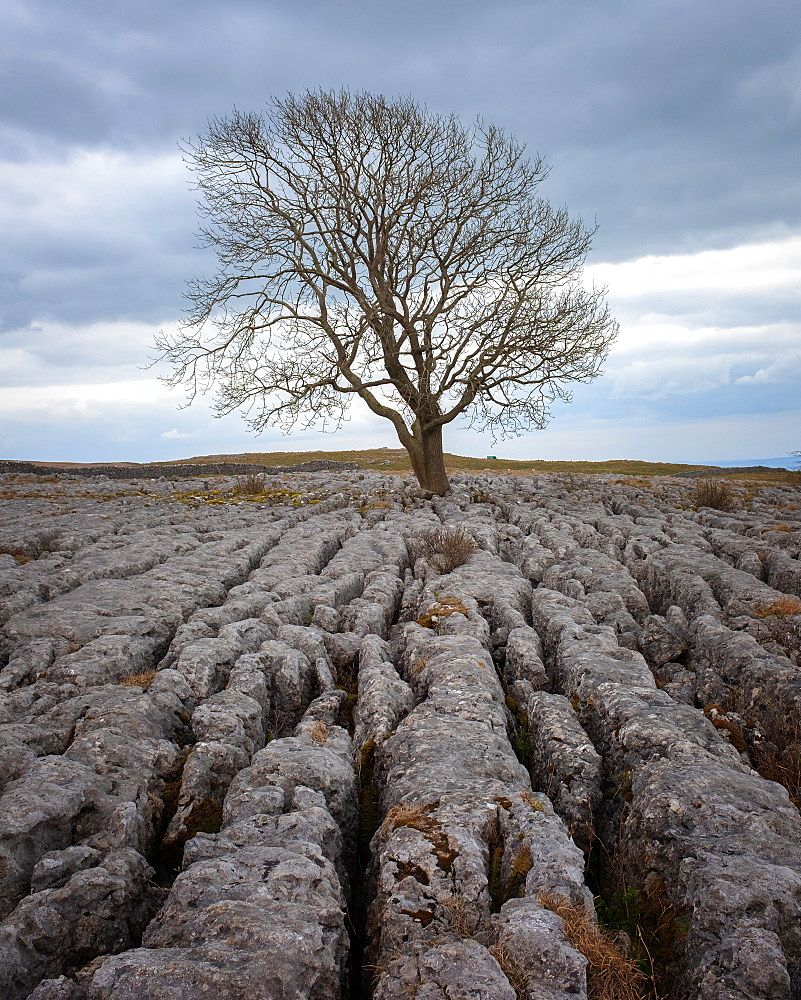 A lone weathered tree in amongst the limestone pavement of the Yorkshire Dales National Park, Yorkshire, England, United Kingdom
