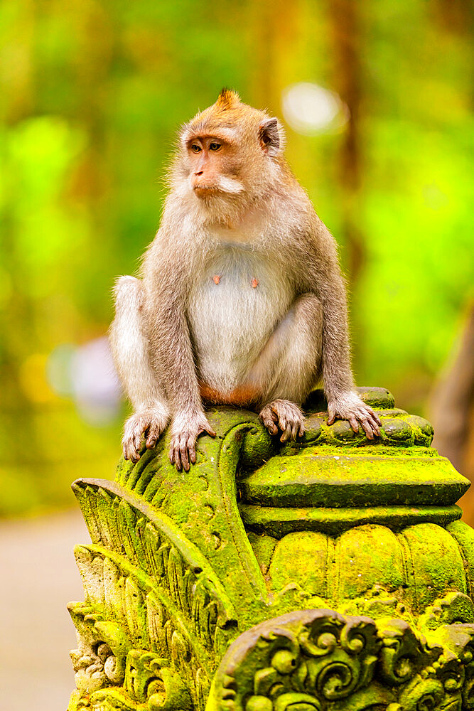 Monkey at the Sacred Monkey Forest, Ubud, Bali, Indonesia, Southeast Asia, Asia