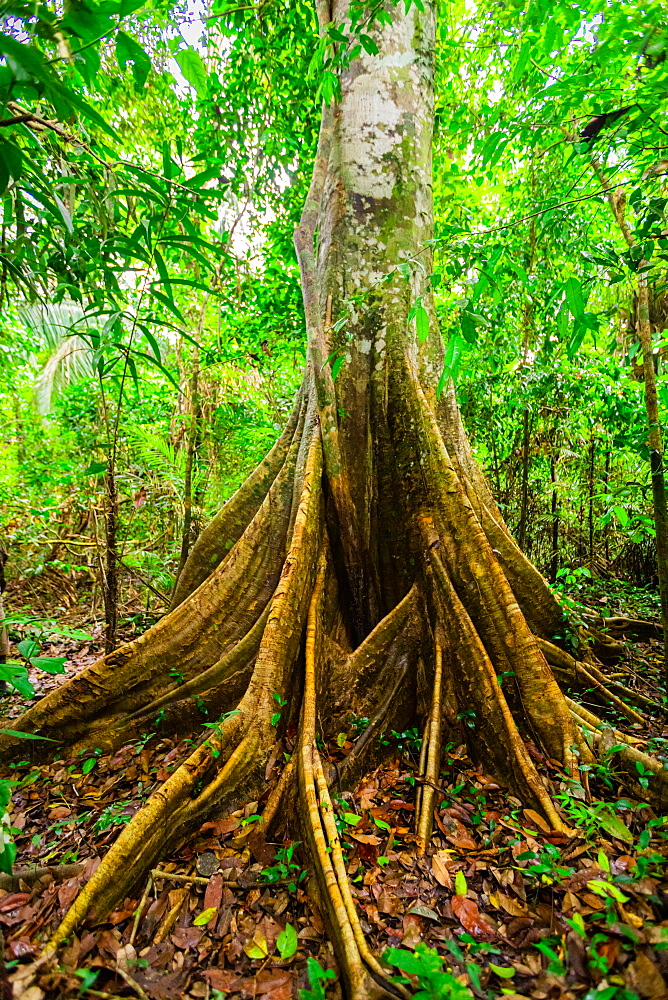 One of the many trees that live in the Amazon Jungle, Peru, South America