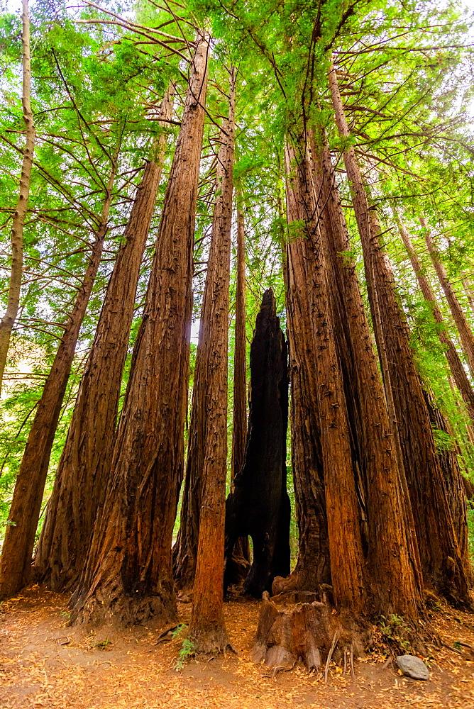 Beautiful giant redwoods, Big Sur, California, United States of America, North America - 1218-1401