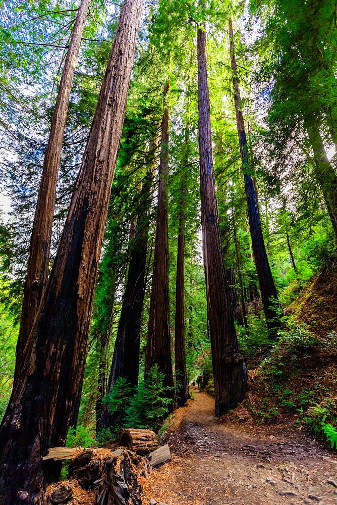 Beautiful giant redwoods, Big Sur, California, United States of America, North America - 1218-1403