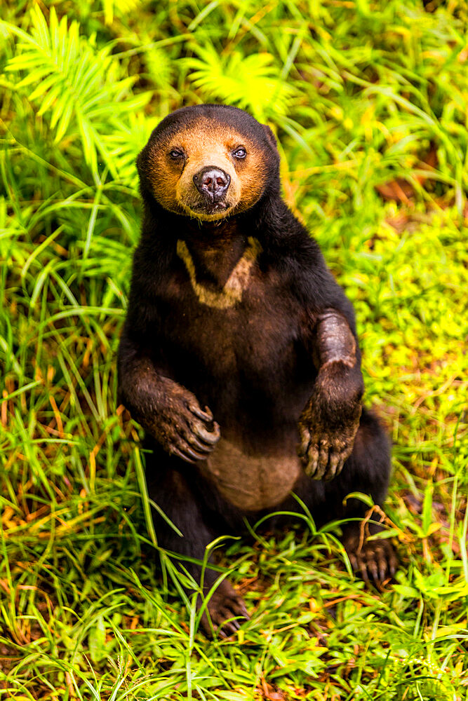 Native Sun Bear in Bako National Park, Kuching, Sarawak, Borneo, Malaysia, Southeast Asia, Asia