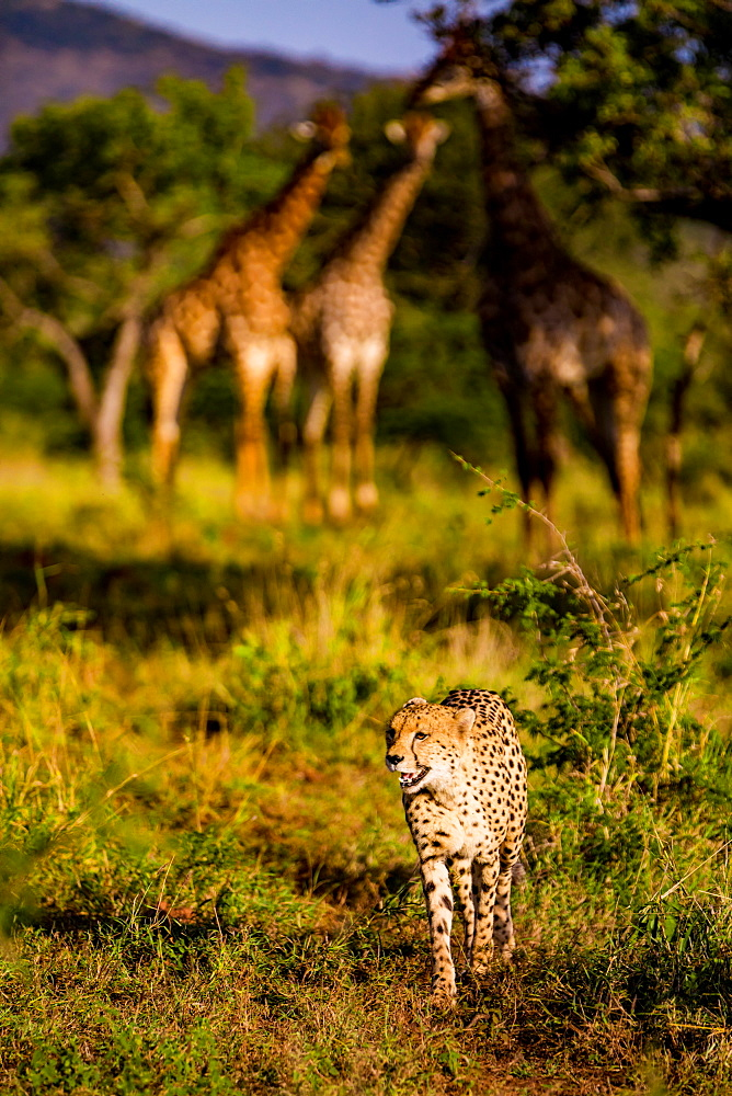 Cheetah (Acinonyx jubatus) and Giraffe (Giraffa camelopardalis), Zululand, South Africa, Africa