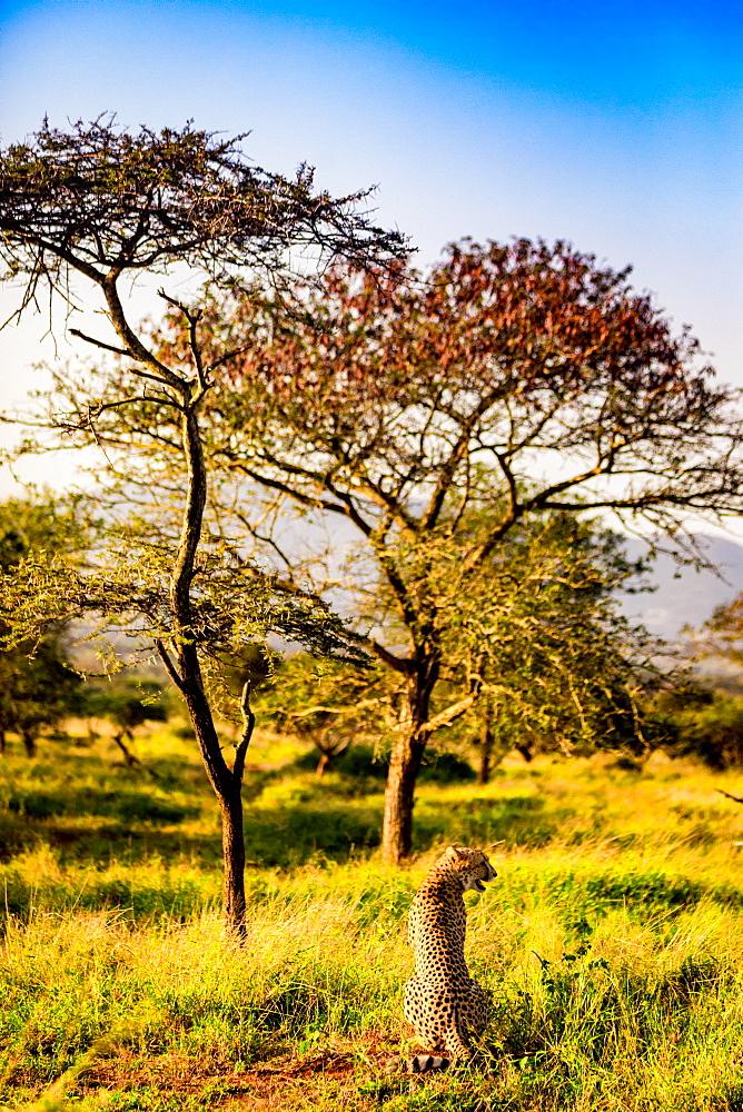Cheetah (Acinonyx jubatus), Zululand, South Africa, Africa