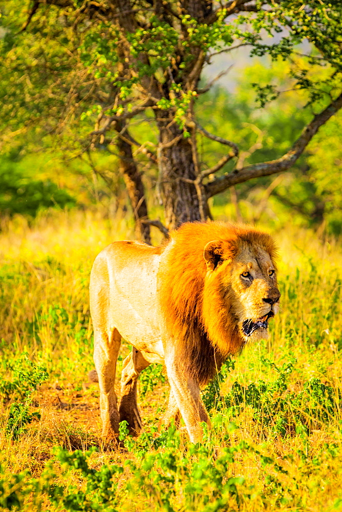 Lion (Panthera leo), Zululand, South Africa, Africa