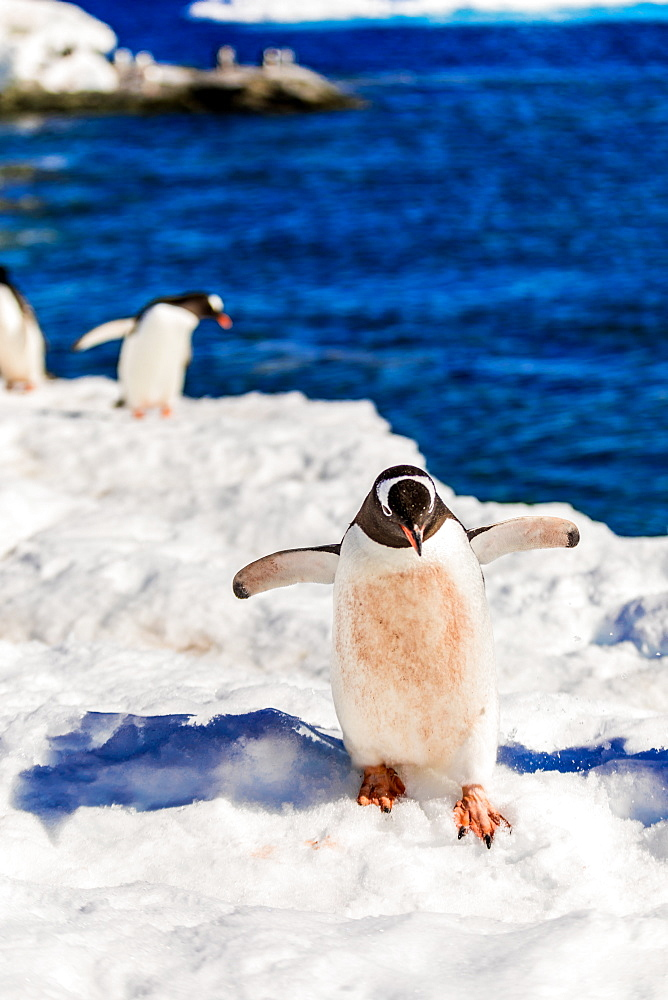 Gentoo penguin roaming around in scenic Antarctica. - 1218-783