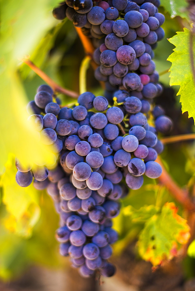 Grapes ripening in the sun at a vineyard in the Alto Douro region, Portugal, Europe