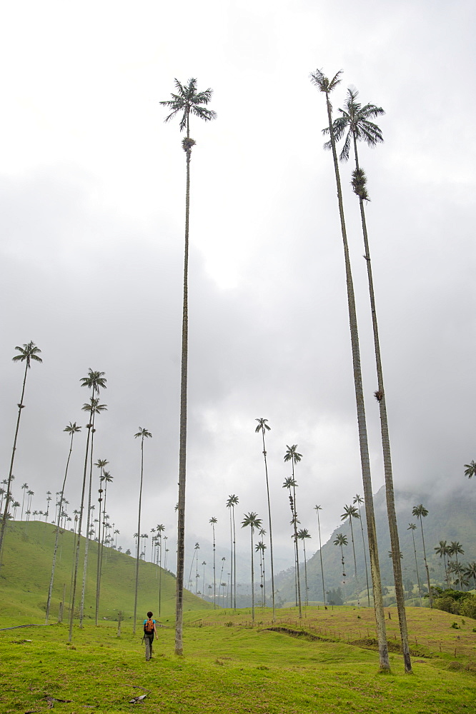 The lush Cocora Valley, part of Los Nevados National Park, principal home for the country's national tree, Colombia, South America
