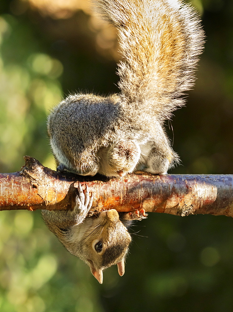 A Grey Squirrel photographed at a garden bird feeder on a garden fence in York, North Yorkshire, England - 1228-250