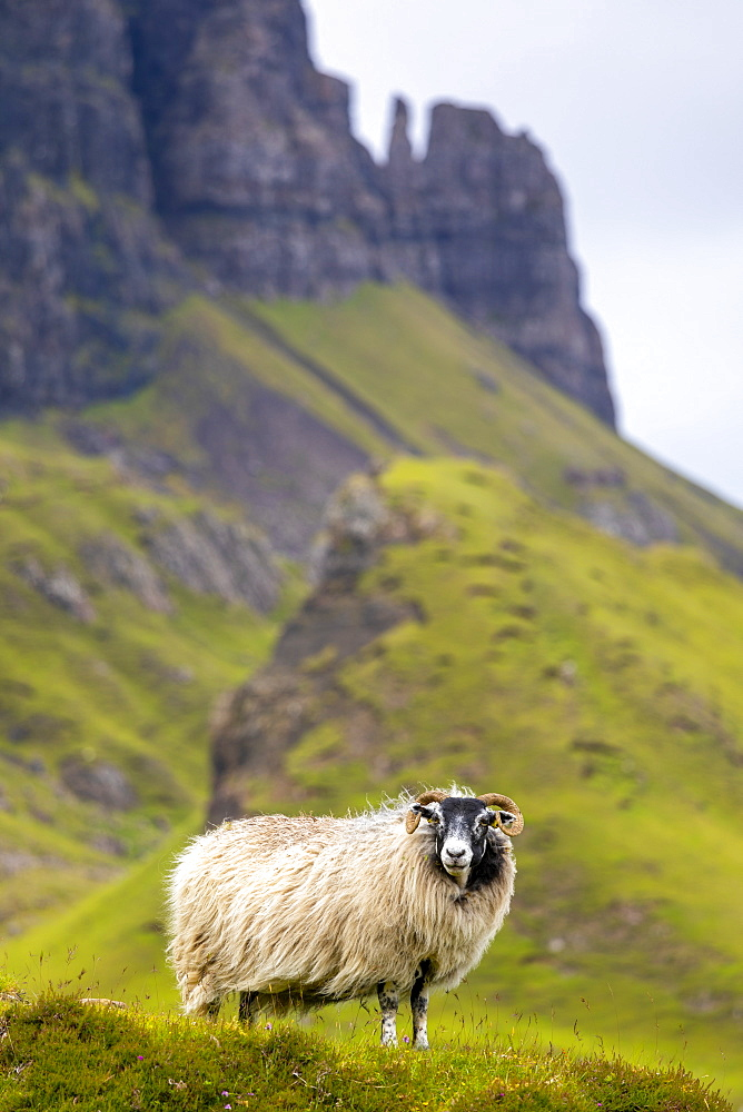 Ram Sheep (Ovis aries), The Quiraing, Isle of Skye, Inner Hebrides, Highlands and Islands, Scotland, United Kingdom, Europe - 1237-373