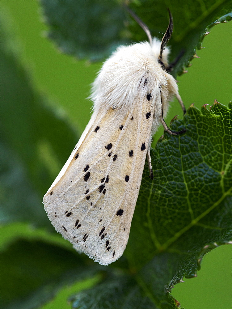 White Ermine moth, County Clare, Munster, Republic of Ireland, Europe - 1240-352