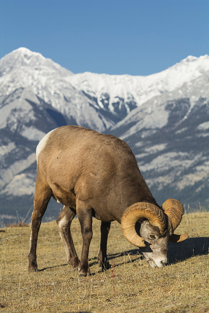 Rocky Mountain Bighorn Ram grazing with mountains in background (Ovis canadensis), Jasper National Park, UNESCO World Heritage Site, Alberta, Canada, North America - 1241-125