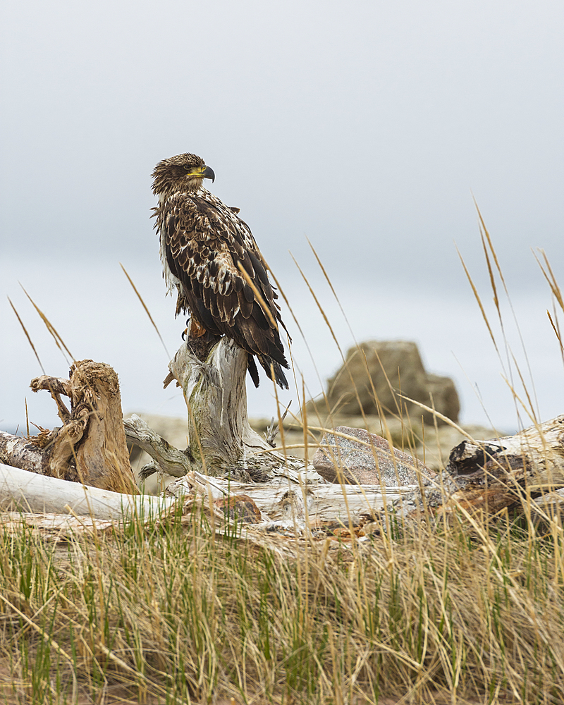 Juvenile Bald Eagle (Haliaeetus leucocephalus), Cape Breton National Park, Nova Scotia, Canada, North America