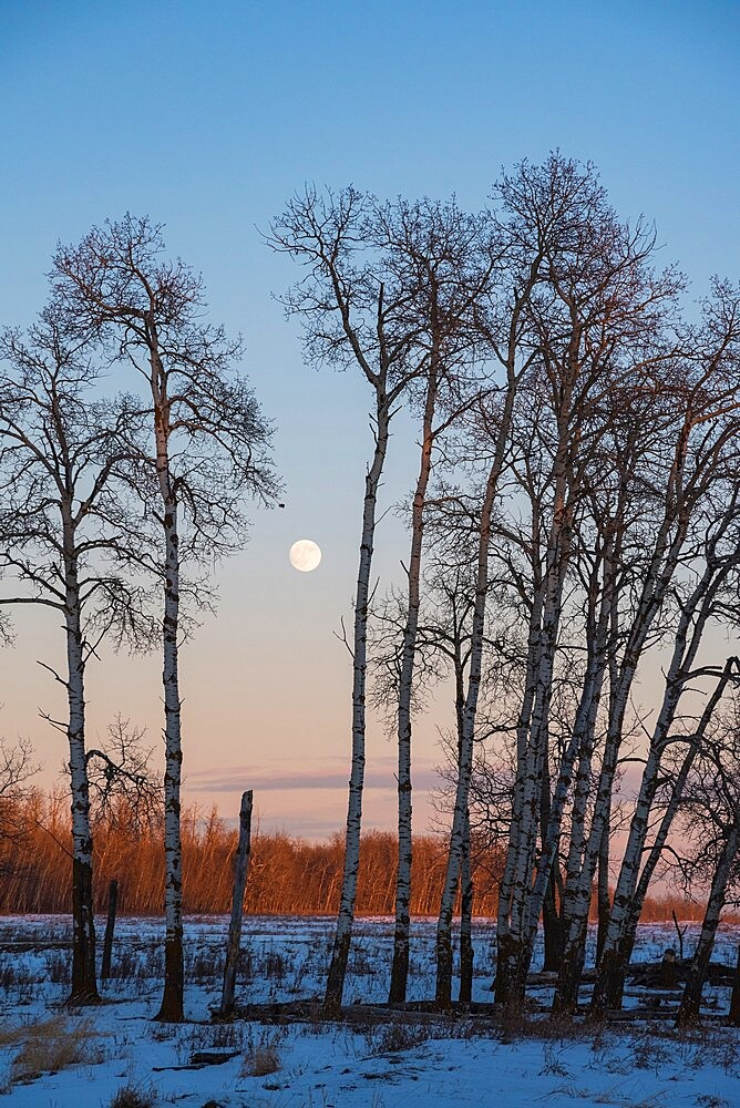 Full Moon and Aspen Grove during a Winter Sunset, Elk Island National Park, Alberta, Canada, North America - 1241-258