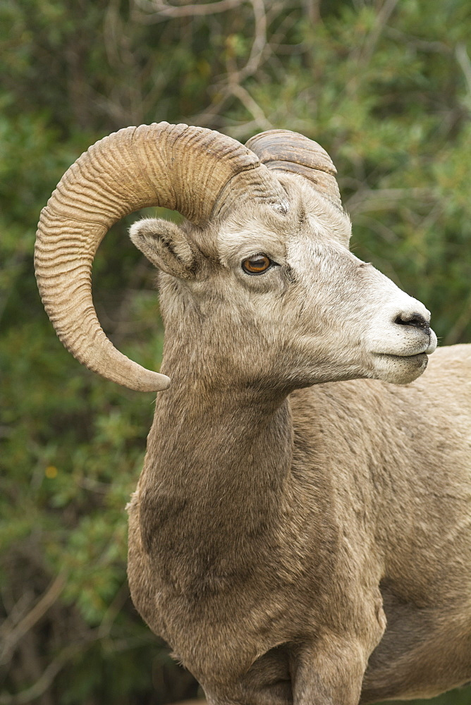 Close up portrait of a wild Rocky Mountain Bighorn Sheep (Ovis canadensis), Jasper National Park, Canada. wildlife,bighorn sheep