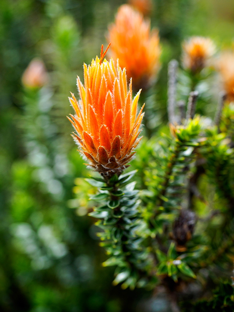 Orange-tipped Chuquiraga plant used medicinally in Ecuador, Cotopaxi National Park, Andes mountains, Ecuador, South America