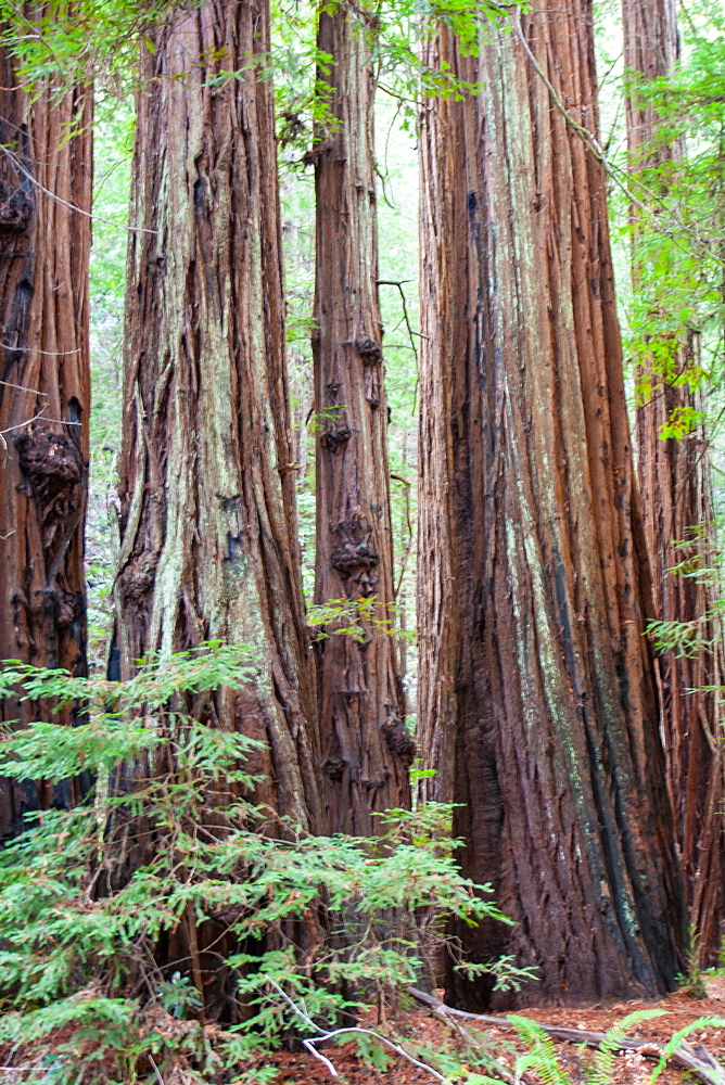 California redwoods, Armstrong Woods State Park, near Guerneville, California, USA