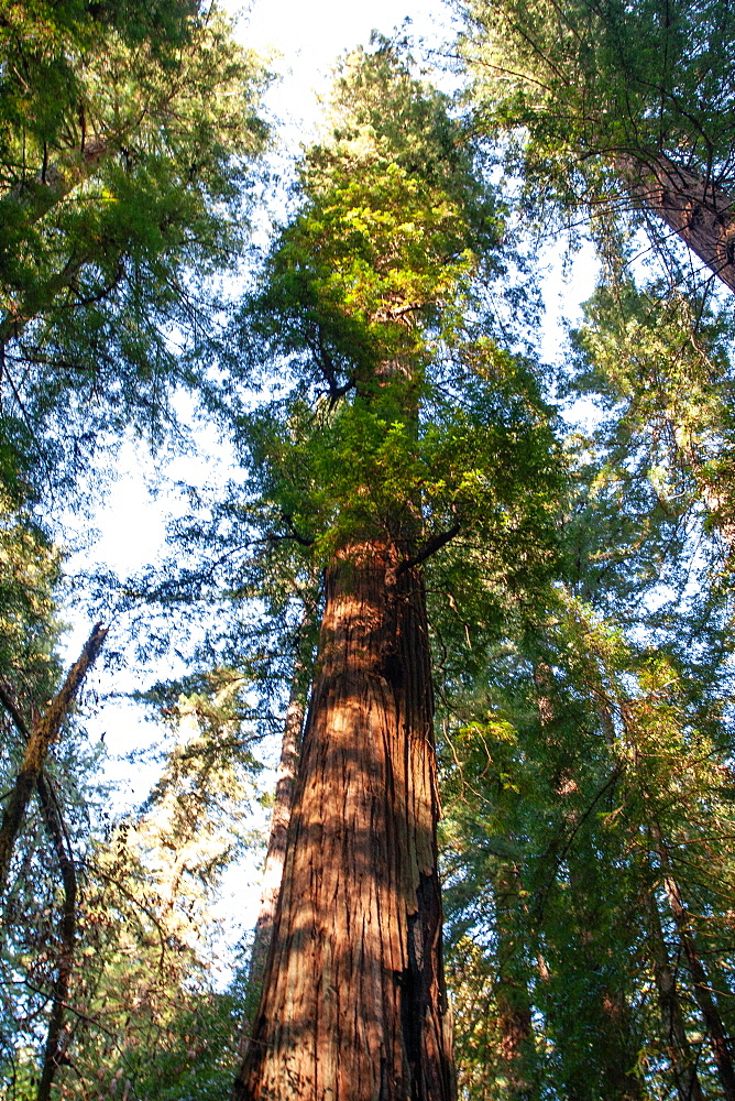 California redwoods, Armstrong Woods State Park, near Guerneville, California, United States of America, North America
