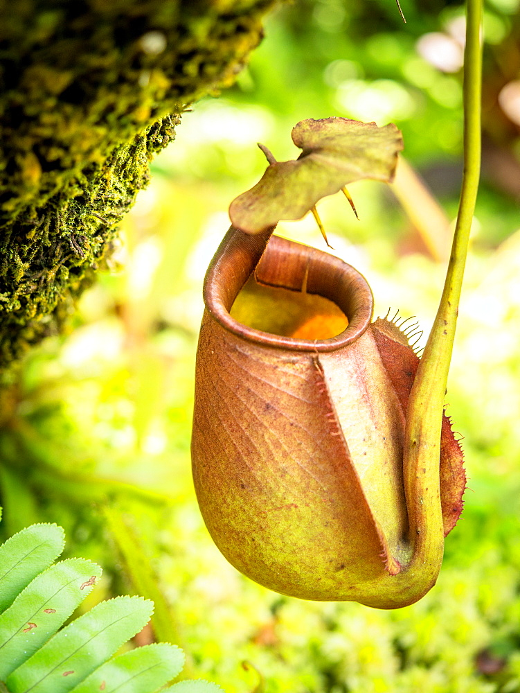 Pitcher plant, Penang Hill, Penang, Malaysia, Southeast Asia, Asia - 1242-98
