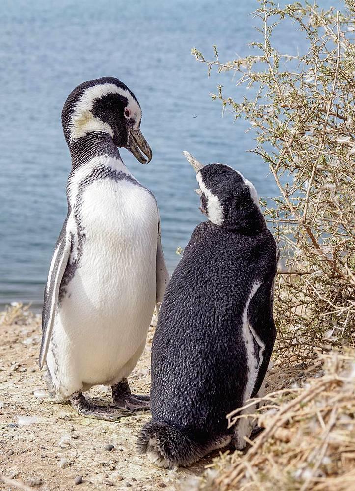 Magellanic penguins(Spheniscus magellanicus) in Caleta Valdes, Valdes Peninsula, Chubut Province, Patagonia, Argentina - 1245-1149