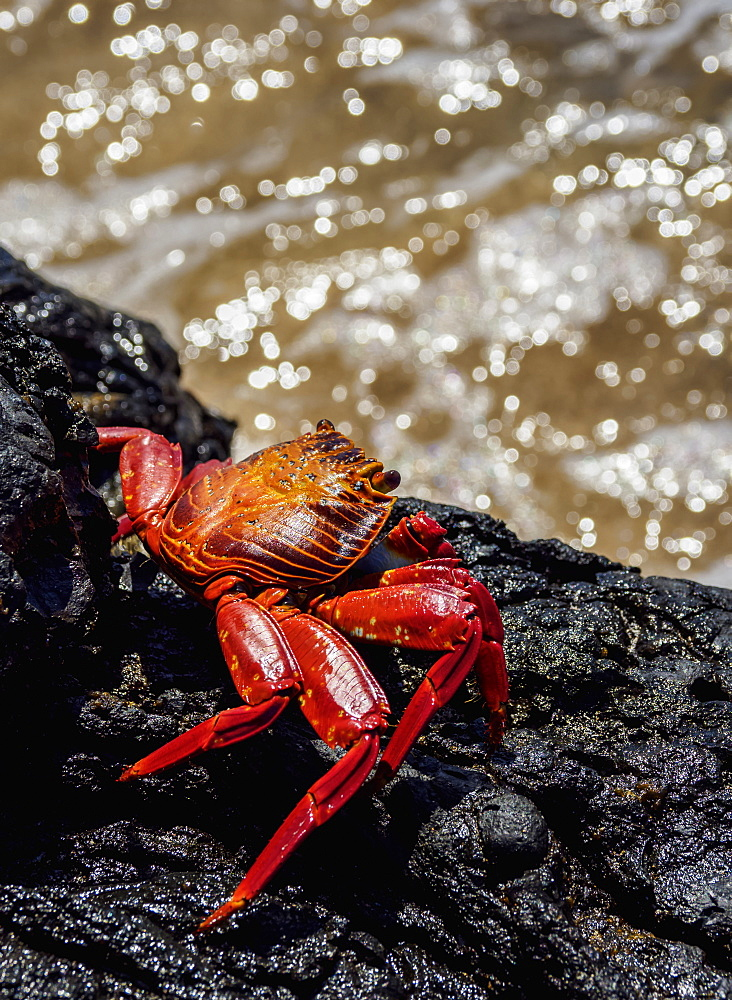Sally Lightfoot crab (Grapsus grapsus), Sullivan Bay, Santiago (James) Island, Galapagos, UNESCO World Heritage Site, Ecuador, South America