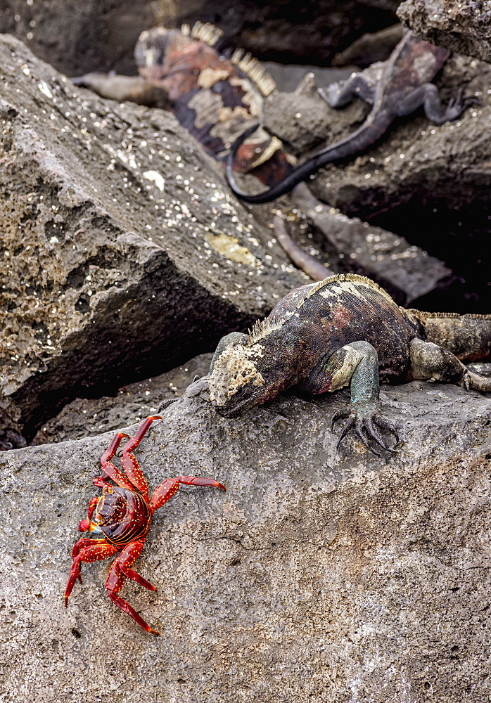 Marine iguana and Sally Lightfoot crab, Punta Suarez, Espanola (Hood) Island, Galapagos, UNESCO World Heritage Site, Ecuador, South America