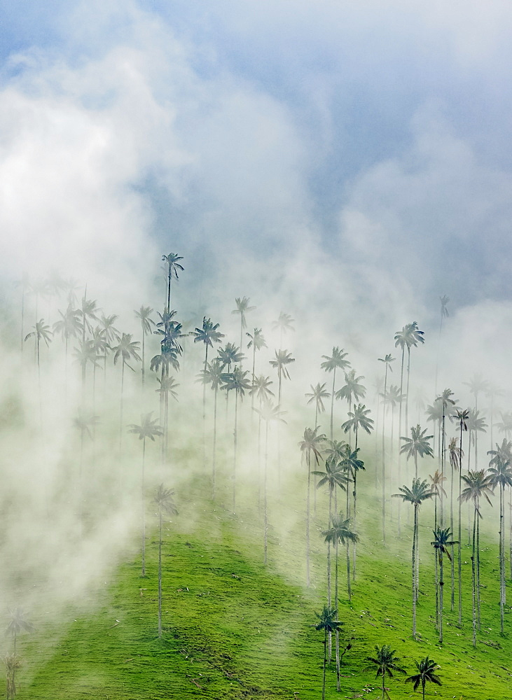 Wax Palms (Ceroxylon quindiuense), Cocora Valley, Salento, Quindio Department, Colombia, South America