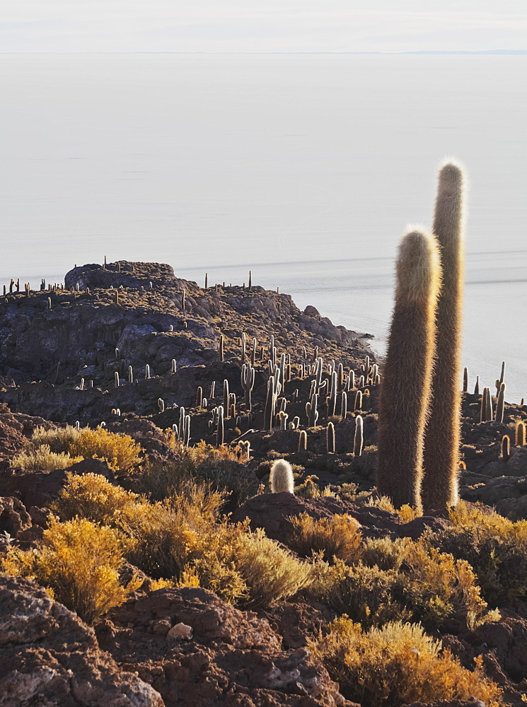 View of Incahuasi Island with its gigantic cacti, Salar de Uyuni, Daniel Campos Province, Potosi Department, Bolivia, South America