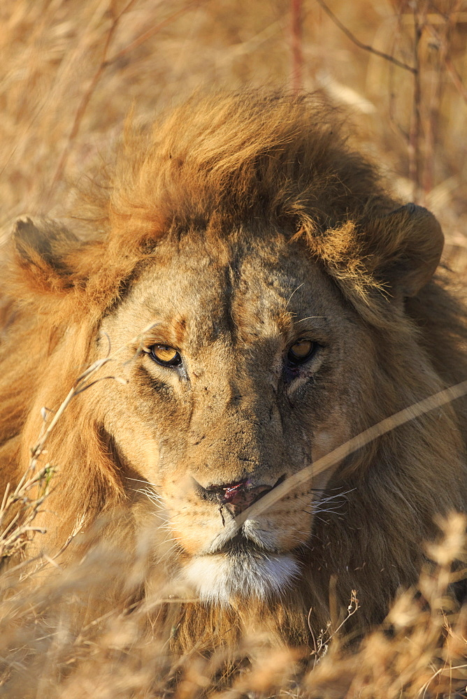 African Lion, Serengeti National Park, Tanzania, East Africa, Africa