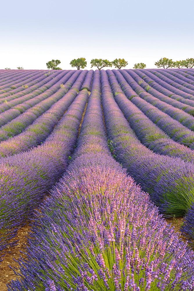 Lavender rows, Plateau de Valensole, Alpes-de-Haute-Provence, Provence-Alpes-Cote d'Azur, France, Europe
